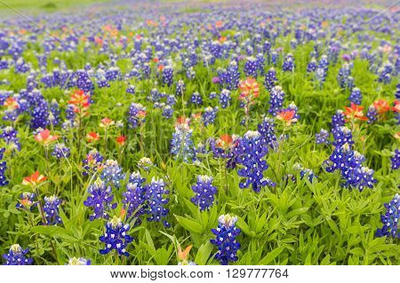 Bluebonnet And Indian Paintbrush Closeup In Ennis, Texas