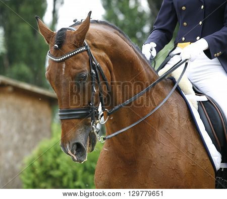 Head shot of a thoroughbred racehorse with beautiful trappings under saddle during training with unknown rider