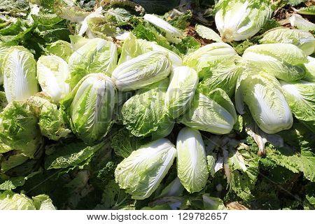 Fresh napa cabbage in the farmer market