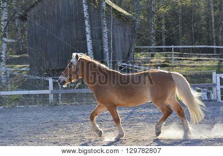 Brown horse walking on dusty farm yard