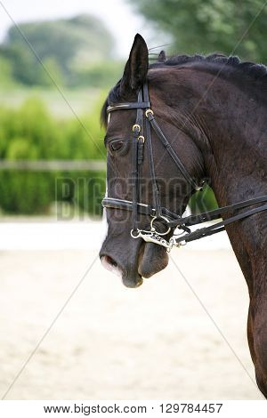 Face of a beautiful purebred racehorse on dressage training