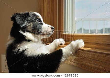 Pastor Australiano (aussie) cachorro viendo