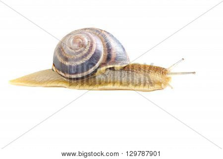 Brown Snail Isolated On A White Background