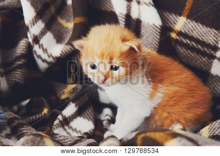 Tiny Kitten. Red orange newborn kitten near a plaid blanket. Sweet adorable tiny kitten on a serenity blue wood background. Funny kitten crawling and meowing