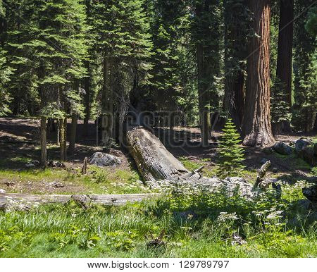 Tall And Big Sequoias In Sequoia National Park