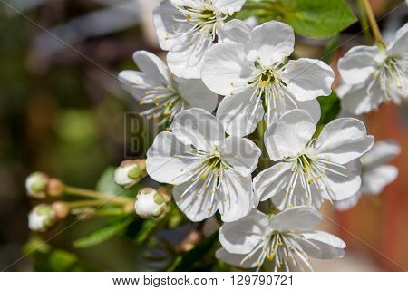 cherry tree in spring color, white flowers and unblown buds
