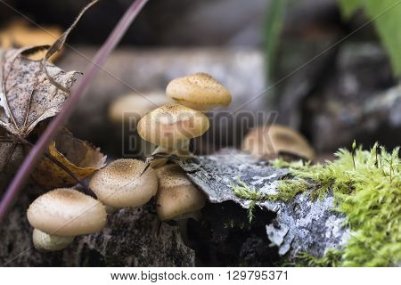 Honey fungus grows in a fall forest. Tasty edible natural mushrooms.