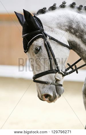 Head shot of a thoroughbred grey colored racehorse with beautiful trappings under saddle during training