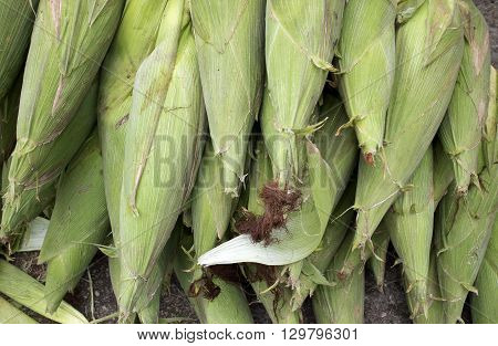 A lot of fresh corn before bringing to maket