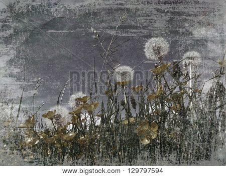 Dark moody grunge effect applied to dandelion clocks