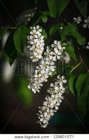 Three inflorescences of a bird cherry and green leaves on a branch