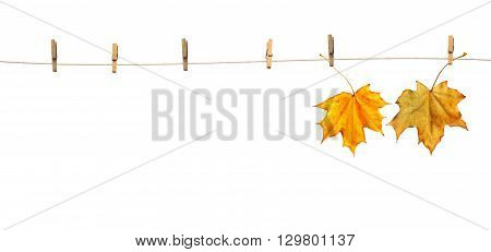 Maple leaves on clothespins isolated on white background