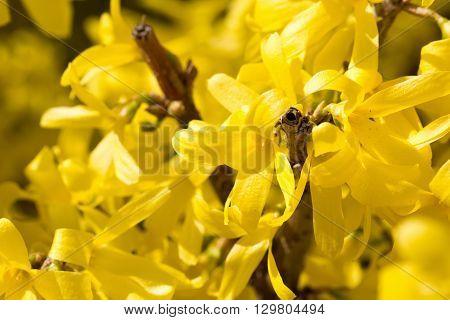 a  flower Cornus mas yellow flowers blossom.