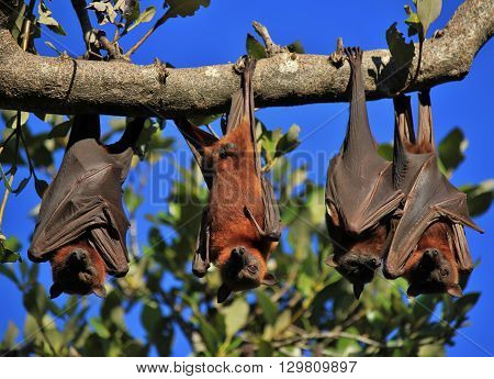 Wild animals living in Australia. Halloween symbol. Flying foxes also named fruit bats.