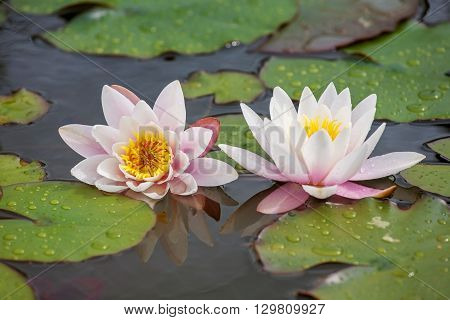 White water lilies with leaves on a pond.
