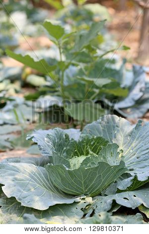 Collard or CABBAGE in the vegetable gardentropical plant commonly used in cooking.
