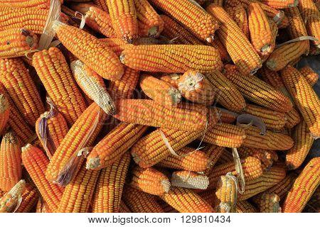 Grains of yellow ripe corn in Vietnam