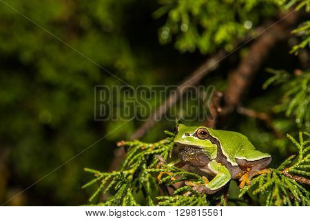 A Pine Barrens Treefrog climbing in a cedar tree.