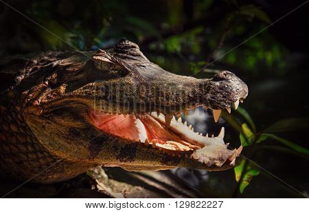 Snapshoot of crocodile. Caiman yacare - small-mid sized crocodilian from alligator family. Caiman crocodilus, reptile head with open jaws