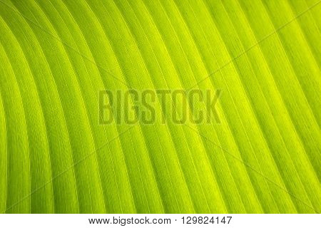 banana leaf with a pattern. Beautiful view from the top
