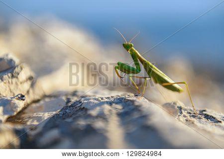 Praying Mantis on rocks closeup photo outdoors