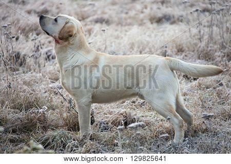 Labrador Retriever Dog With Wound In Neck
