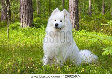 Samoyed dog is sitting in the summer forest