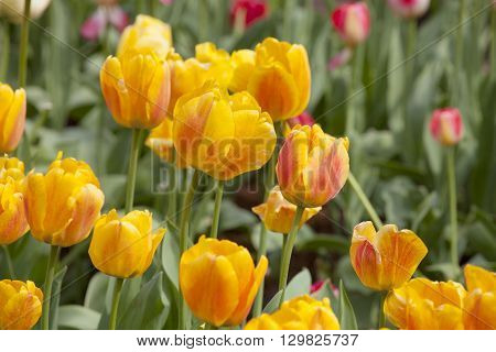 the beautiful yellow tulips blossoming in a spring garden