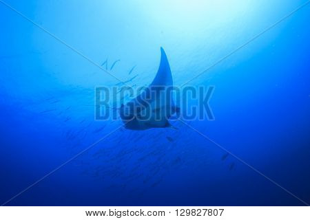 Manta ray with barracuda fish in background