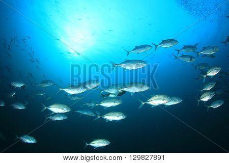 School of Bigeye Trevally fish in sea