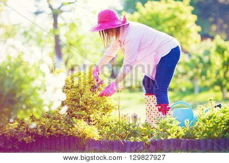 Woman wearing wellies, hat and gloves with pruning shears cutting evergreen bittersweet shrub plant. Maintenance gardening concept.