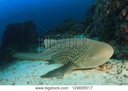 Leopard Shark (Zebra Shark)