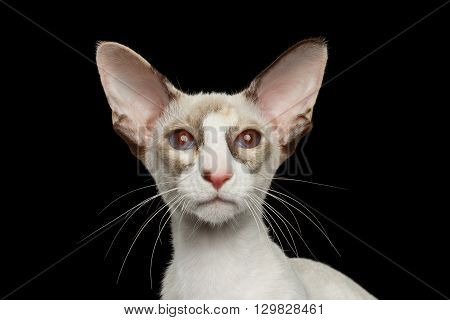 Closeup Portrait of White Oriental Cat With Big Ears and red eyes Looking in Camera Black Isolated Background