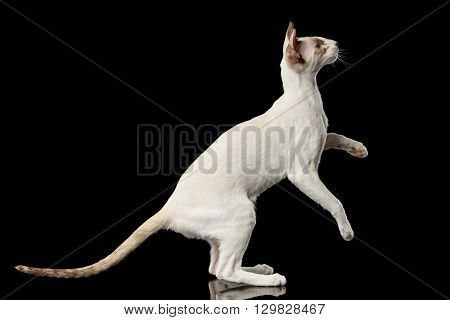 Playful White Oriental Cat Standing on rear legs and Raised up paws Black Isolated Background