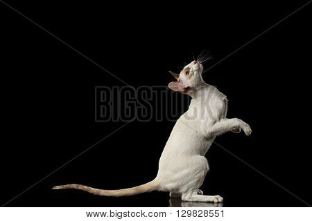 Playful White Oriental Cat Standing on rear legs and Raised up head Black Isolated Background