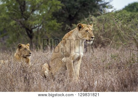 Specie panthera leo family of felidae, african lioness and young lion in kruger park, South Africa