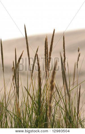 Desert grass