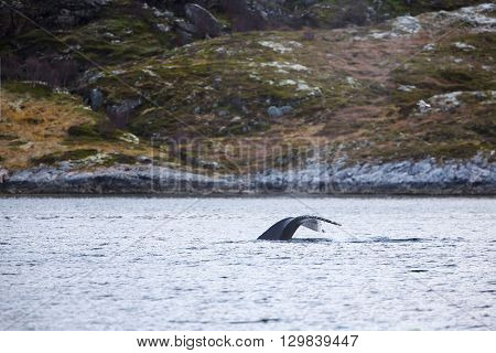 One large humpback whales in the arctic. Shows tail fin above water.
