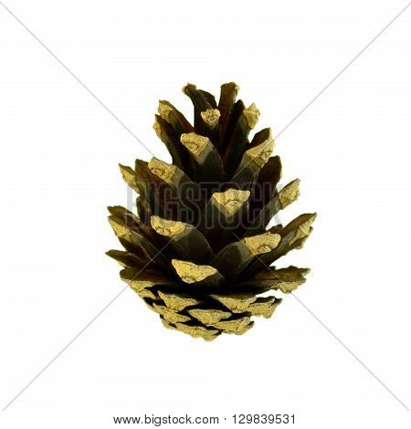 fir-cone on a white fonev good quality