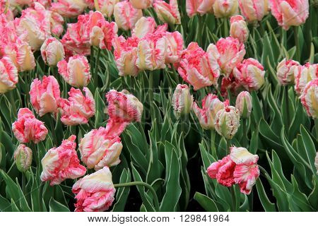 Beautiful landscape of pink and white striped tulips with lush greenery.