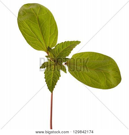 Sapling of castor plant on white background. Ricinus communis.