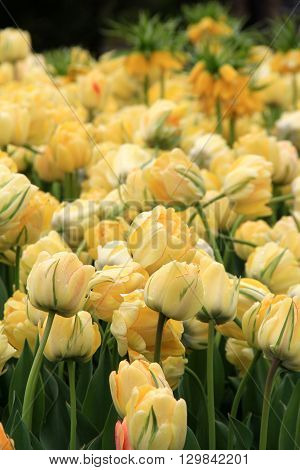 Gorgeous bed of yellow tulips invite the season of Springtime to the neighborhood.