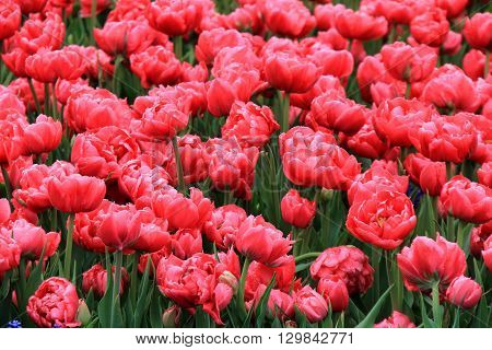 Beautiful landscape of bright pink tulips in someone's Springtime garden