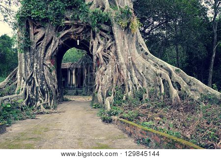 Old Tree With Big Root Gate