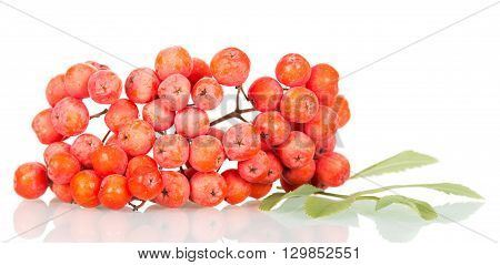 Rowan branch with berries and leaves isolated on white background.