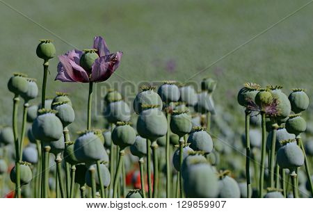 Single purple late-blooming poppy on field with many poppy heads