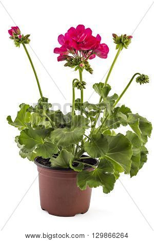 Pink garden Geranium Pelargonium with buds isolated on white background, garden geranium flowers in flowerpot