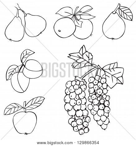 illustration on white background fruits and berries: grapes pear Apple quince apricot peach plum