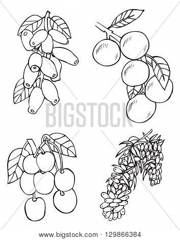 illustration on white background fruits and berries: sea buckthorn honeysuckle cherry apricot