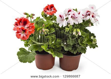 Red and white English geranium with buds in flowerpot isolated on white background